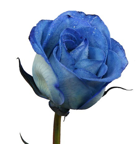 tye dye roses blue roses dyed roses by wichita florist
