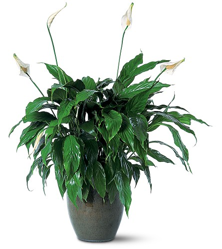 Spathiphyllum Plant in Hendersonville TN, Brown's Florist
