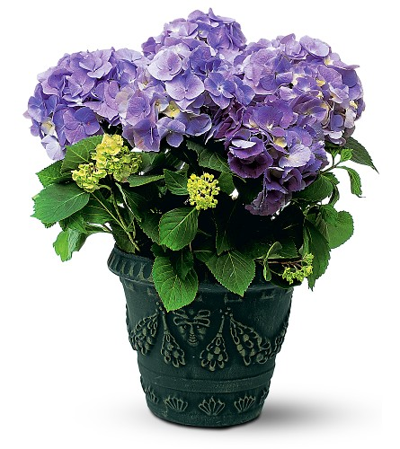 Blue Hydrangea Local and Nationwide Guaranteed Delivery - GoFlorist.com