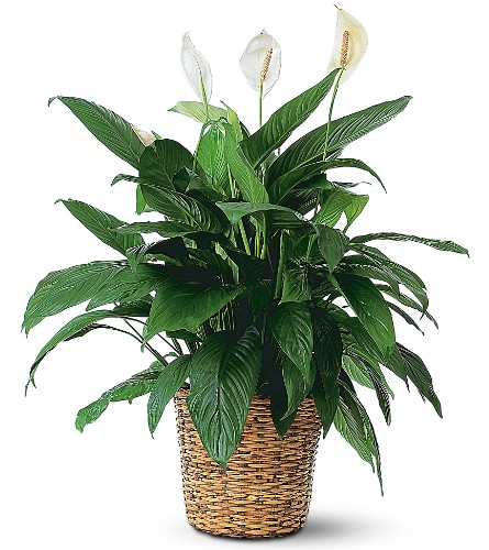 Large Spathiphyllum Plant in Oklahoma City OK, Array of Flowers & Gifts
