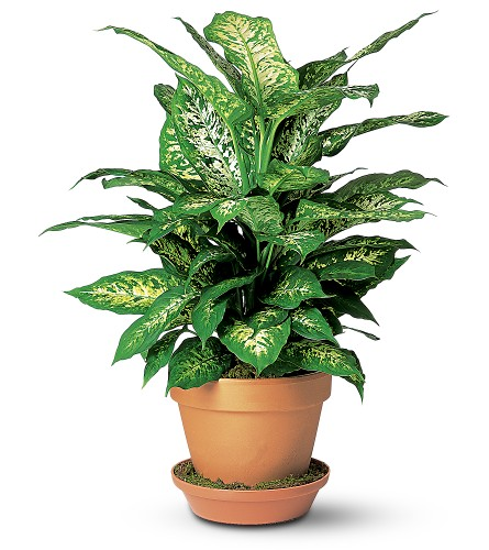 Dieffenbachia in Dallas TX, In Bloom Flowers, Gifts and More