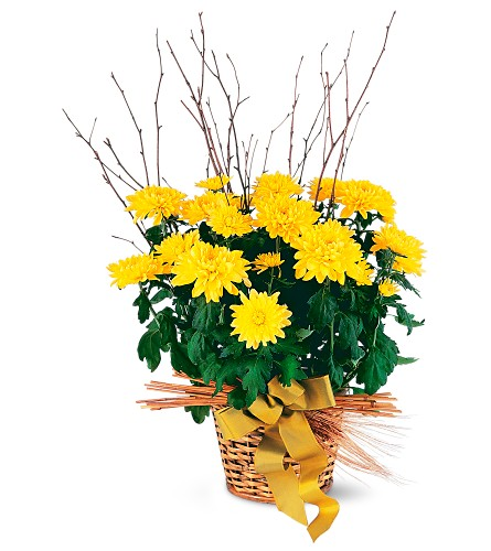 Yellow Hope Chrysanthemum in Oklahoma City OK, Array of Flowers & Gifts