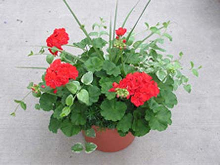 Geranium Patio Pot In Big Rapids Cadillac Reed City And Canadian Lakes Mi Patterson 39 S