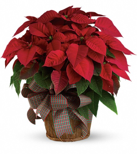Large Red Poinsettia in Garden City NY, Hengstenberg's Florist Inc.