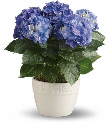 Happy Hydrangea - Blue in Bellevue WA, Lawrence The Florist