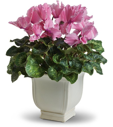 Sunny Cyclamen in Festus MO, Judy's Flower Basket