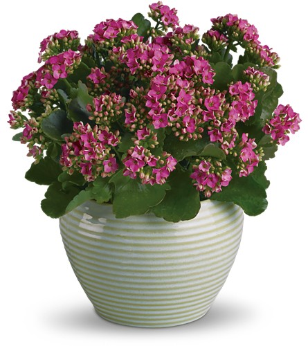 Bountiful Kalanchoe in Olean NY, Mandy's Flowers