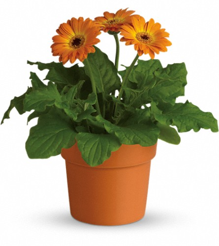 Rainbow Rays Potted Gerbera - Orange in Kirkland WA, Fena Flowers, Inc.
