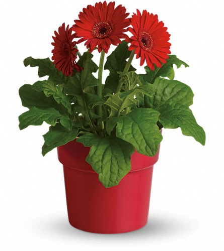 Rainbow Rays Potted Gerbera - Red in Spring Lake Heights NJ, Wallflowers