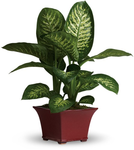 Delightful Dieffenbachia in Sevierville TN, From The Heart Flowers & Gifts
