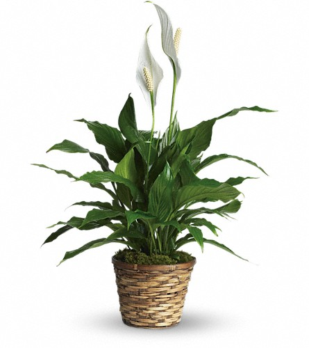 Simply Elegant Spathiphyllum - Small in Augusta GA, Ladybug's Flowers & Gifts Inc