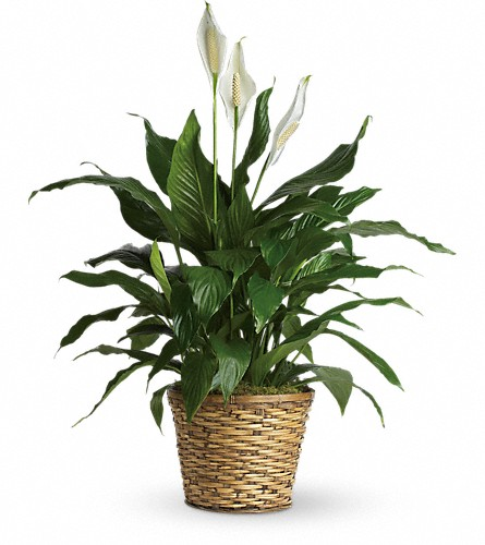 Simply Elegant Spathiphyllum - Medium in Olean NY, Mandy's Flowers