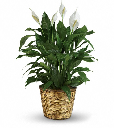 Simply Elegant Spathiphyllum - Large in Parsippany NJ, Cottage Flowers