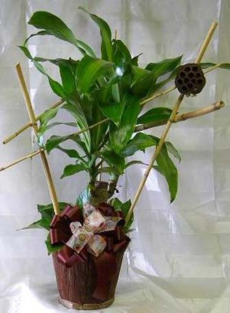 Dracaena Corn Plant with Bamboo Decoration