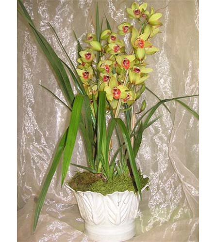 Green Cymbidium Orchid Plant in West Los Angeles CA, Westwood Flower Garden