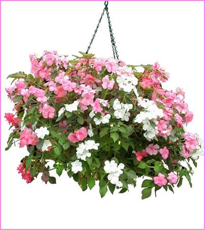 Impatient Hanging Basket in Olean NY, Mandy's Flowers