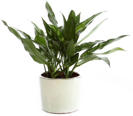 Small Chinese Evergreen in Ceramic in McLean VA, MyFlorist