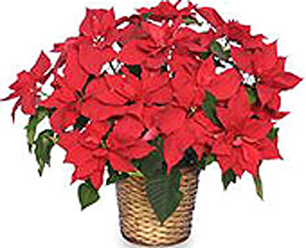 HP51 ''Large Poinsettia'' in Oklahoma City OK, Array of Flowers & Gifts