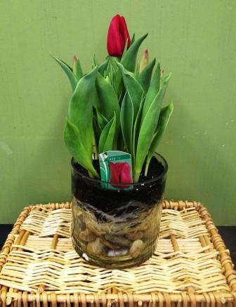 Potted tulip plant in Fond Du Lac WI - Haentze Floral Co