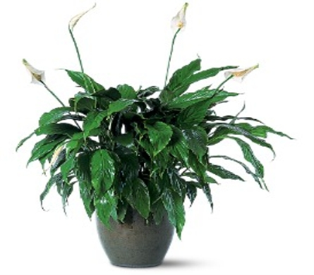 Spathiphyllum in Palm Springs CA, Palm Springs Florist, Inc.