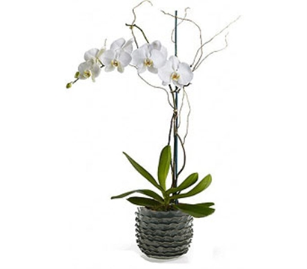 Premium White Orchid in Palm Springs CA, Palm Springs Florist, Inc.