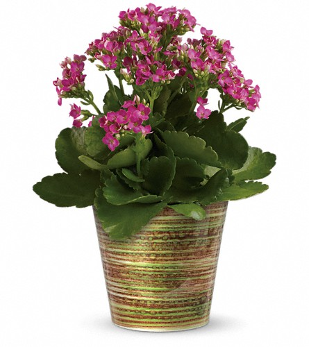 Simply Happy Kalanchoe Plant by Teleflora in Royersford PA, Three Peas In A Pod Florist