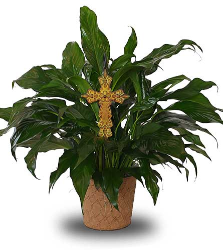 Divine Peace Lily in Dallas TX, In Bloom Flowers, Gifts and More