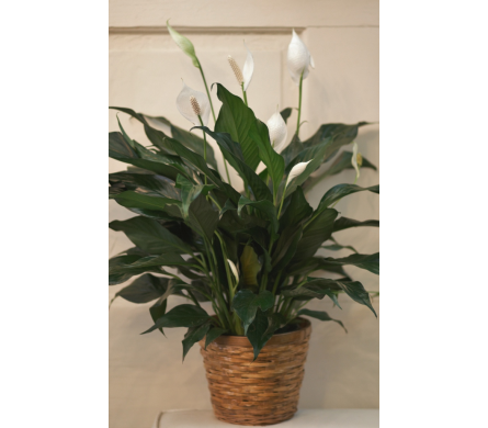 Peace Lily in Winchester VA, Flowers By Snellings