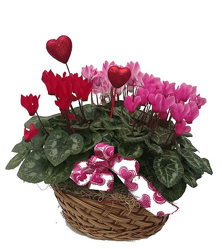 Cyclamen Basket in Coldwater MI, Neitzerts Greenhouse