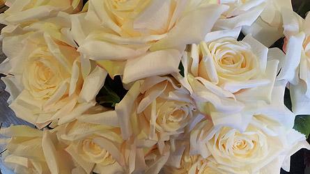Cream Garden Rose silk cream garden roses bush in loudonville oh - four seasons