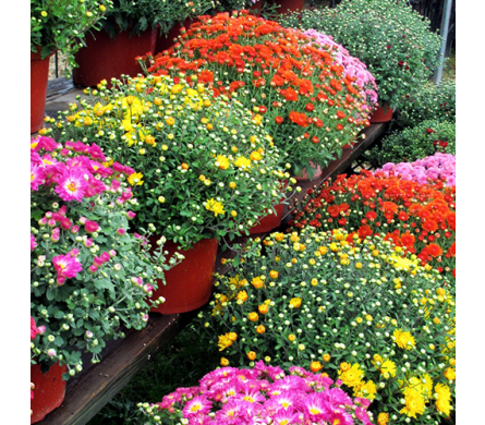 Garden Mum Plants in Indianapolis IN, George Thomas Florist