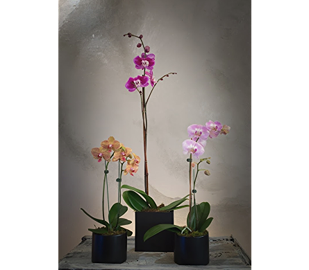 Phalaenopsis Orchids in Rogers AR, Shirley's Flower Studio