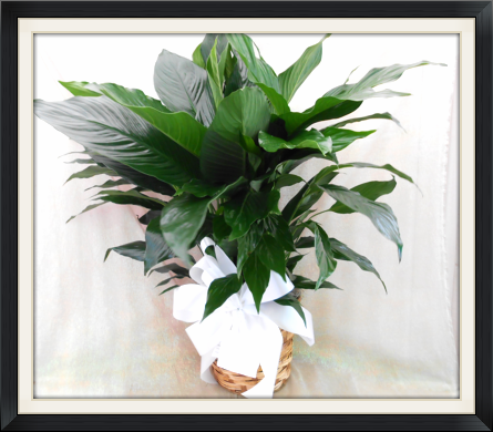Medium Peace Lilly (Spathiphyllum) in Tyler TX, The Flower Box