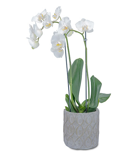 White Elegance Orchid in Holladay UT, Brown Floral