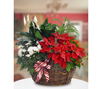 Blooming Poinsettia Basket in Bound Brook NJ, America's Florist & Gifts