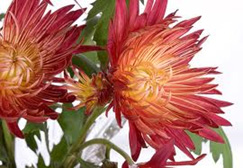 chrysanthemum - Fall Flowers