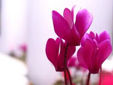 Beautiul Cyclamen Plants