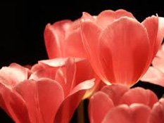 tulips - Beautiful Fall Tulips