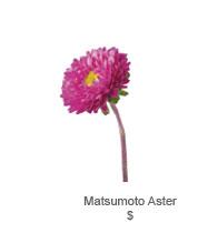 Matsumoto Aster
