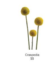 Craspedia