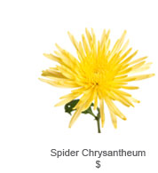 Spider Chrysantheum