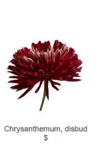 Chrysanthemum, disbud