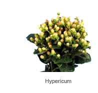 Hypericum