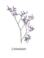Limonium