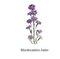 Montecasino Aster