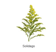 Solidago