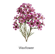 Waxflower