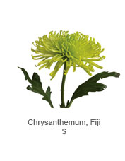 Chrysanthemum, Fiji