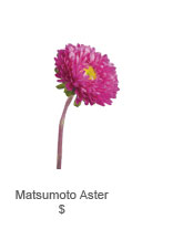 Matsumoto Aster