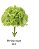 Nydrangea